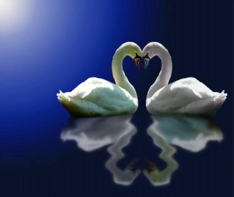 0411090704331swan_love4.